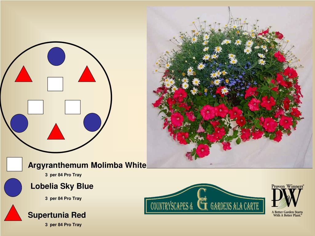 Argyranthemum Molimba White