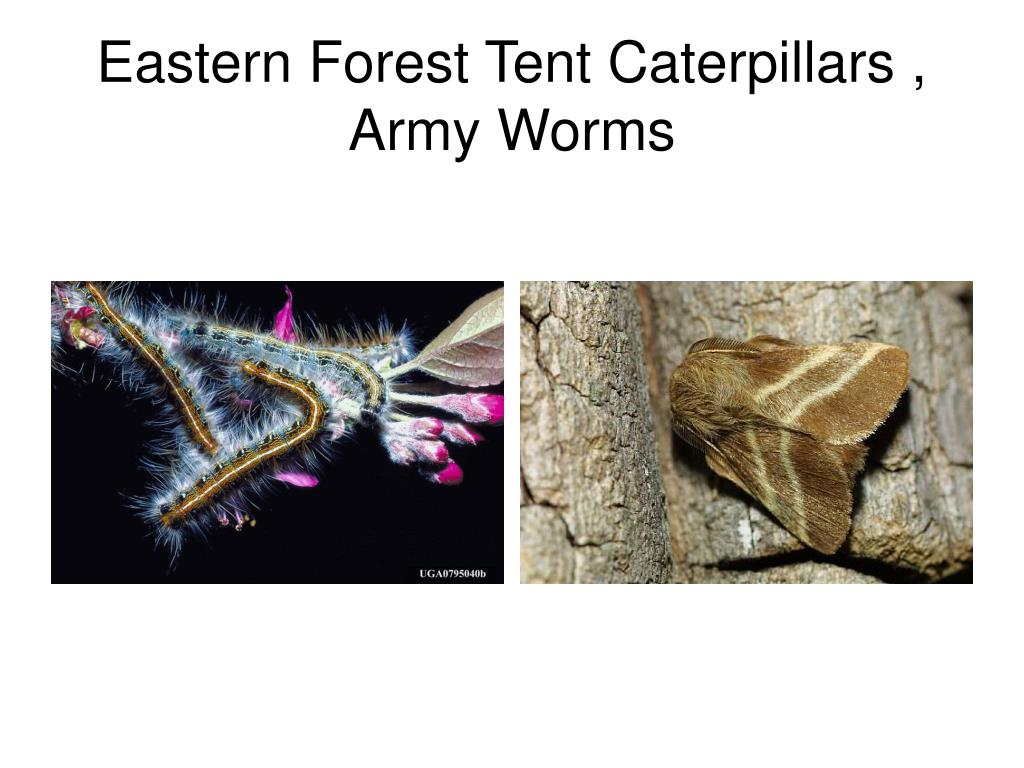 Eastern Forest Tent Caterpillars , Army Worms