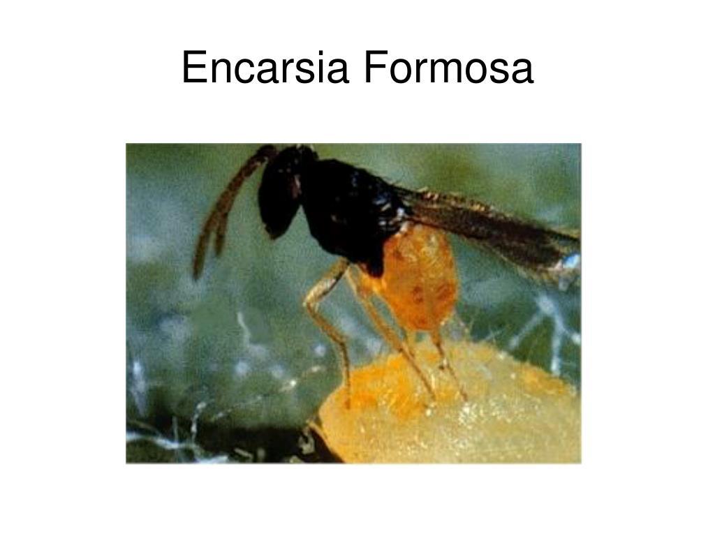 Encarsia Formosa