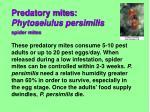 predatory mites phytoseiulus persimilis