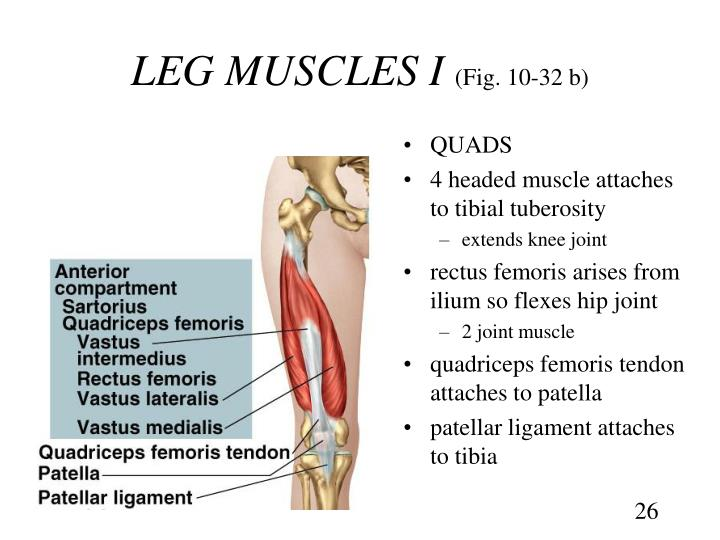 Ppt Chapter 10 The Muscular System Powerpoint Presentation Id663309