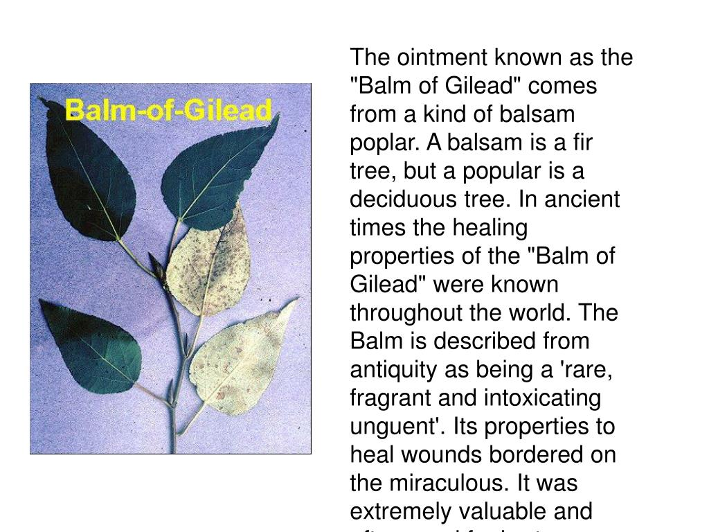 """The ointment known as the """"Balm of Gilead"""" comes from a kind of balsam poplar. A balsam is a fir tree, but a popular is a deciduous tree. In ancient times the healing properties of the """"Balm of Gilead"""" were known throughout the world. The Balm is described from antiquity as being a 'rare, fragrant and intoxicating unguent'. Its properties to heal wounds bordered on the miraculous. It was extremely valuable and often used for barter."""