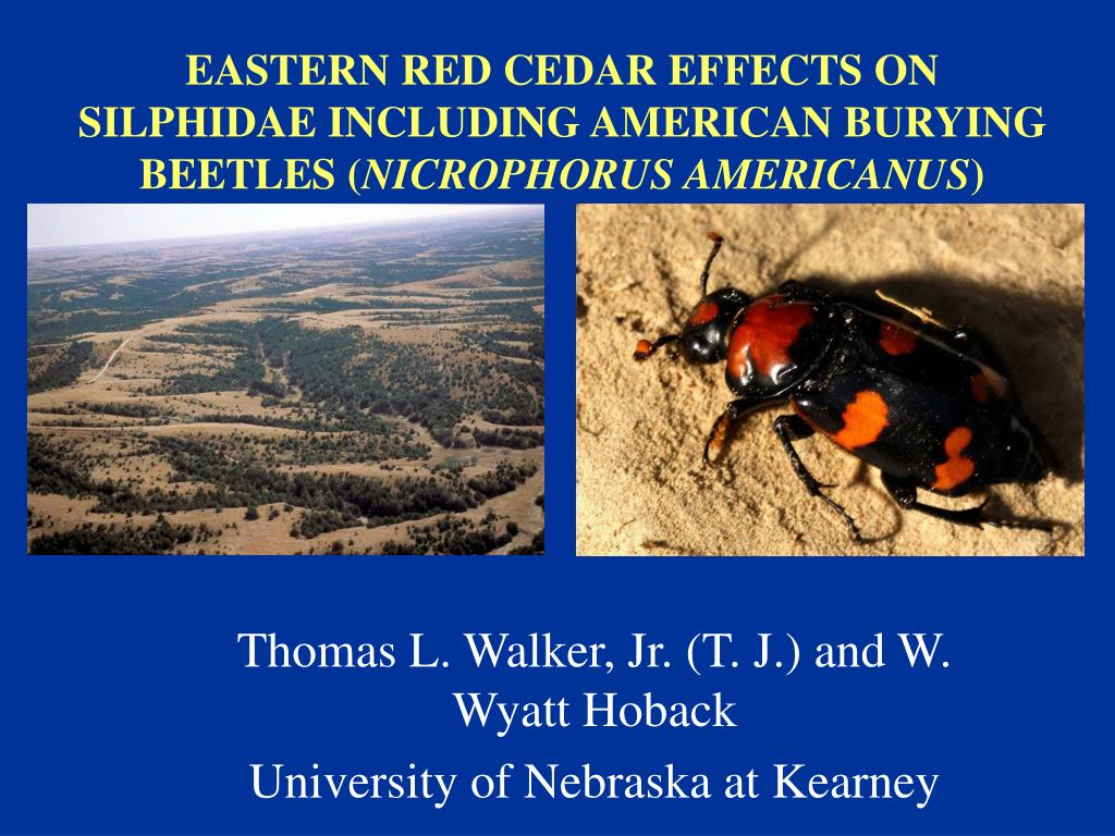eastern red cedar effects on silphidae including american burying beetles nicrophorus americanus l.