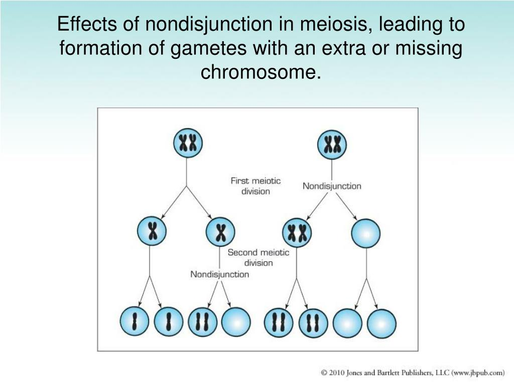 Effects of nondisjunction in meiosis, leading to formation of gametes with an extra or missing chromosome.