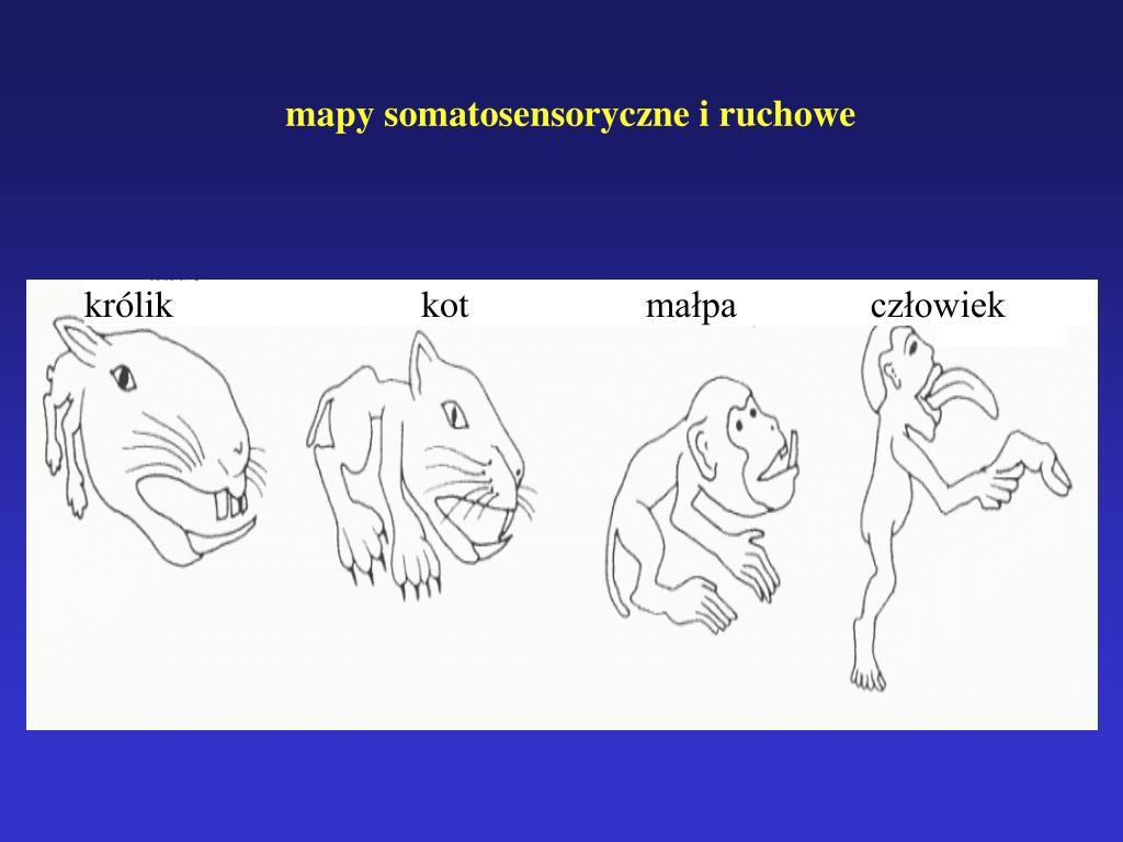 mapy somatosensoryczne i ruchowe