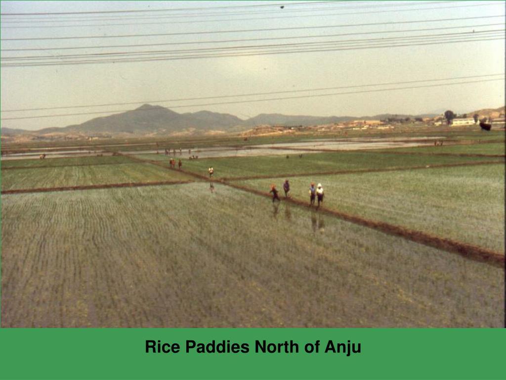 Rice Paddies North of Anju