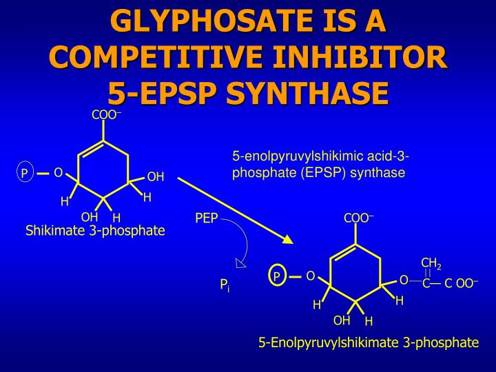 Glyphosate is a competitive inhibitor 5 epsp synthase