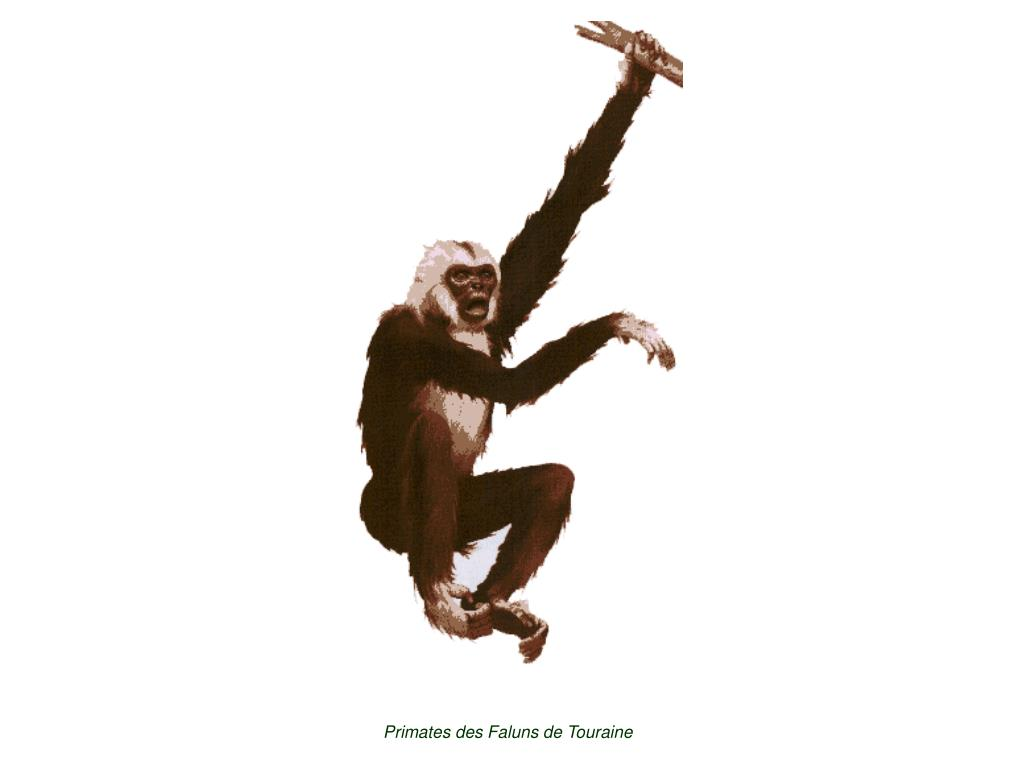 Primates des Faluns de Touraine