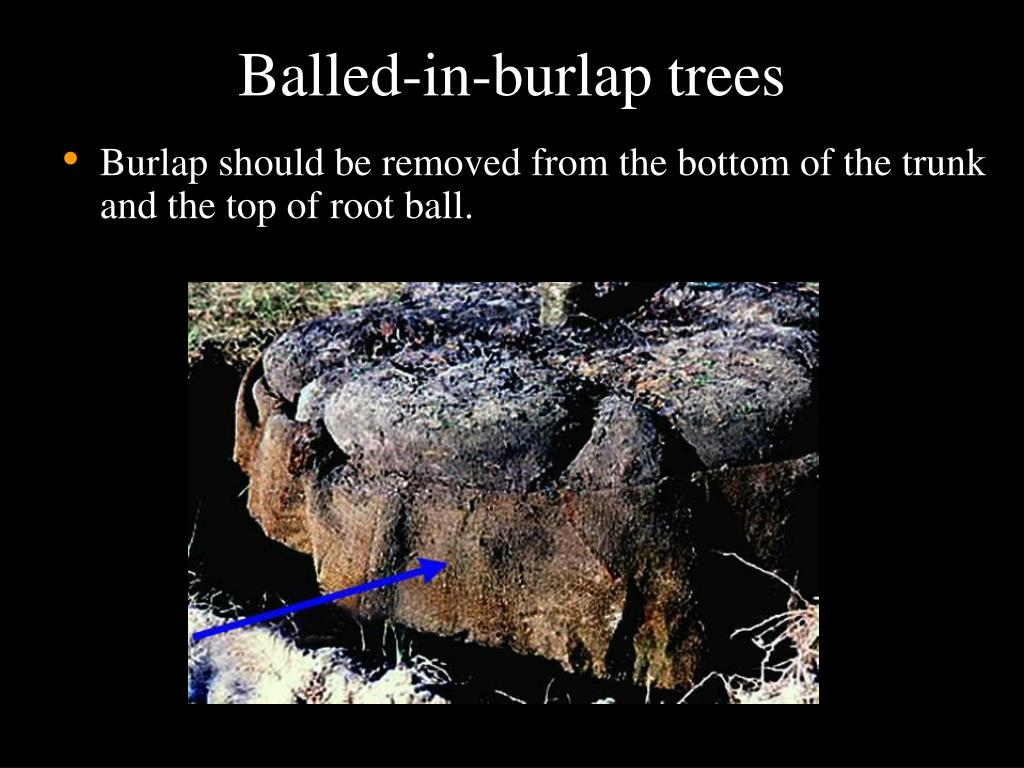 Balled-in-burlap trees