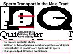 sperm transport in the male tract3