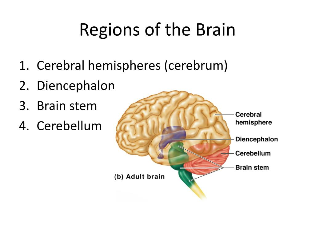 Ppt Regions Of The Brain Powerpoint Presentation Id674309