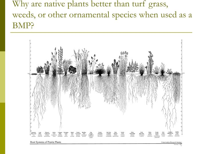 Why are native plants better than turf grass weeds or other ornamental species when used as a bmp