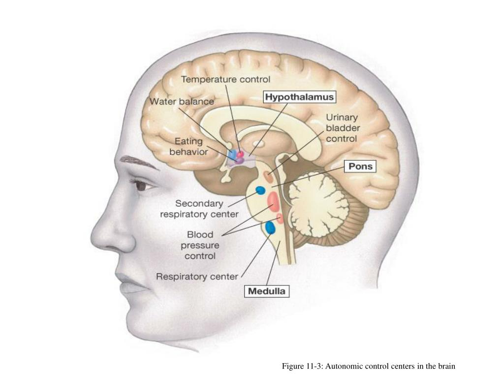PPT - Hypothalamus and Pituitary PowerPoint Presentation ...