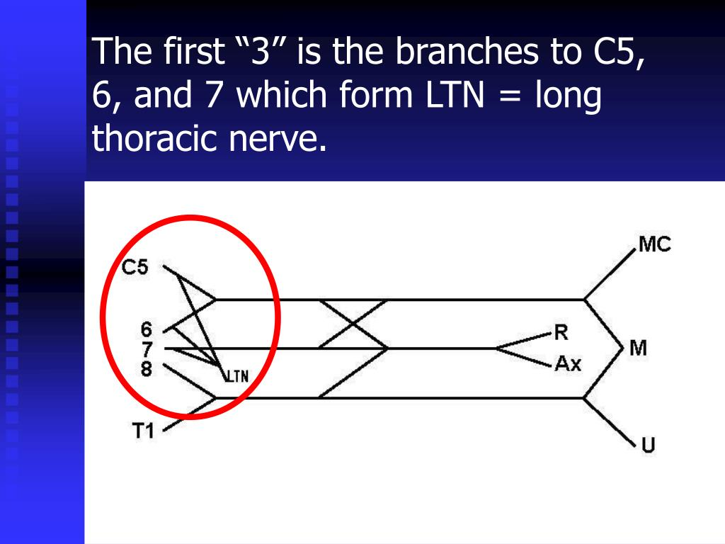 """The first """"3"""" is the branches to C5, 6, and 7 which form LTN = long thoracic nerve."""