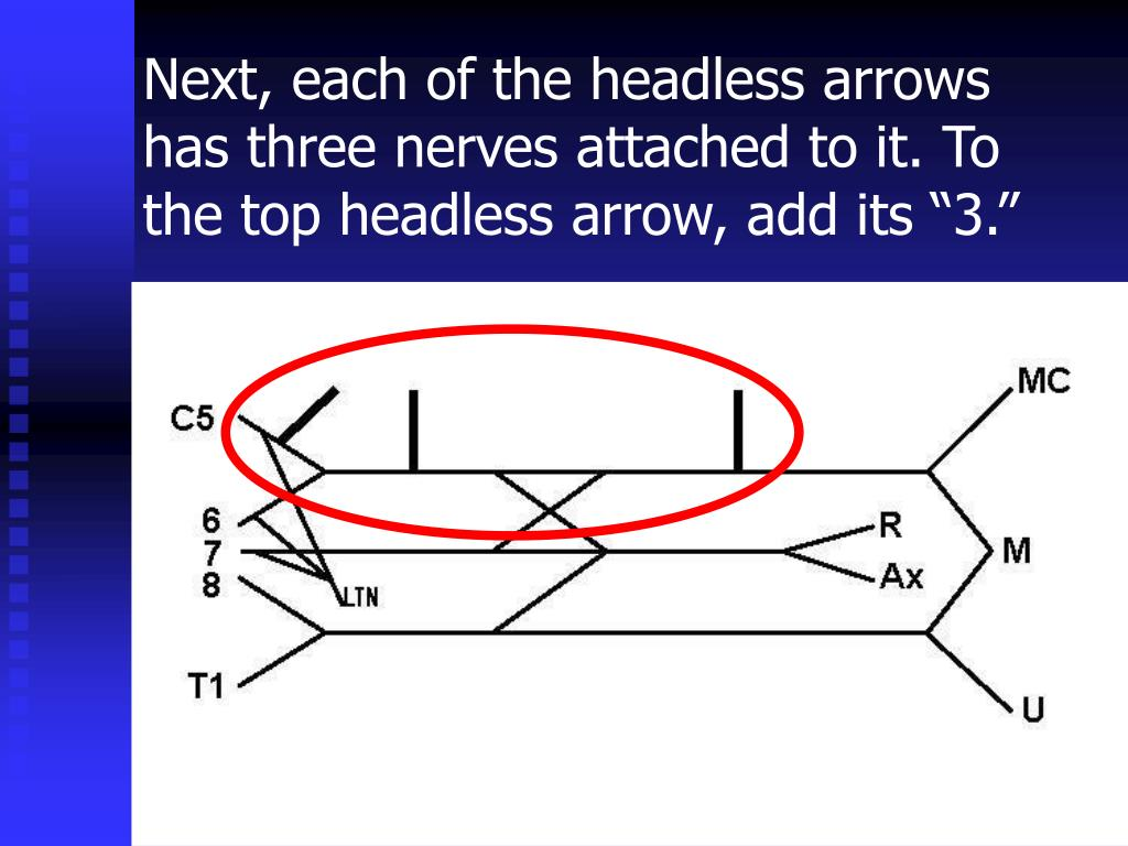 Next, each of the headless arrows has three nerves attached to it.