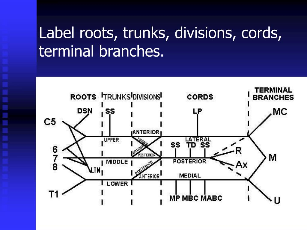 Label roots, trunks, divisions, cords, terminal branches.