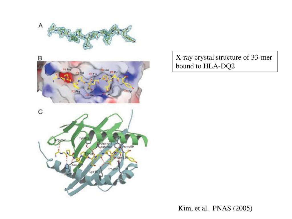 X-ray crystal structure of 33-mer bound to HLA-DQ2
