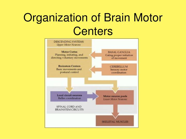 Organization of brain motor centers