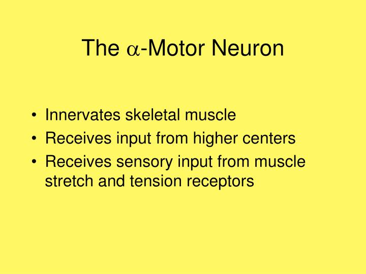 The motor neuron