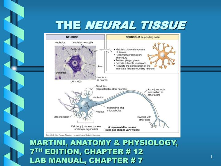 PPT - THE NEURAL TISSUE MARTINI, ANATOMY & PHYSIOLOGY, 7 TH ...