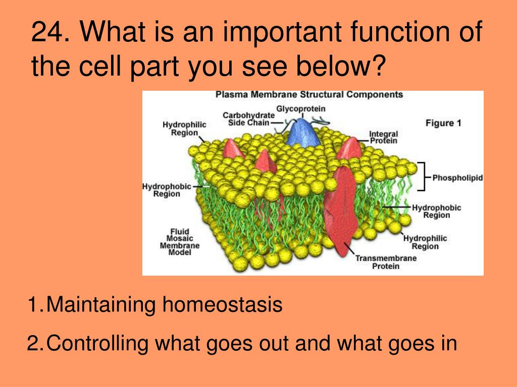 24. What is an important function of the cell part you see below?
