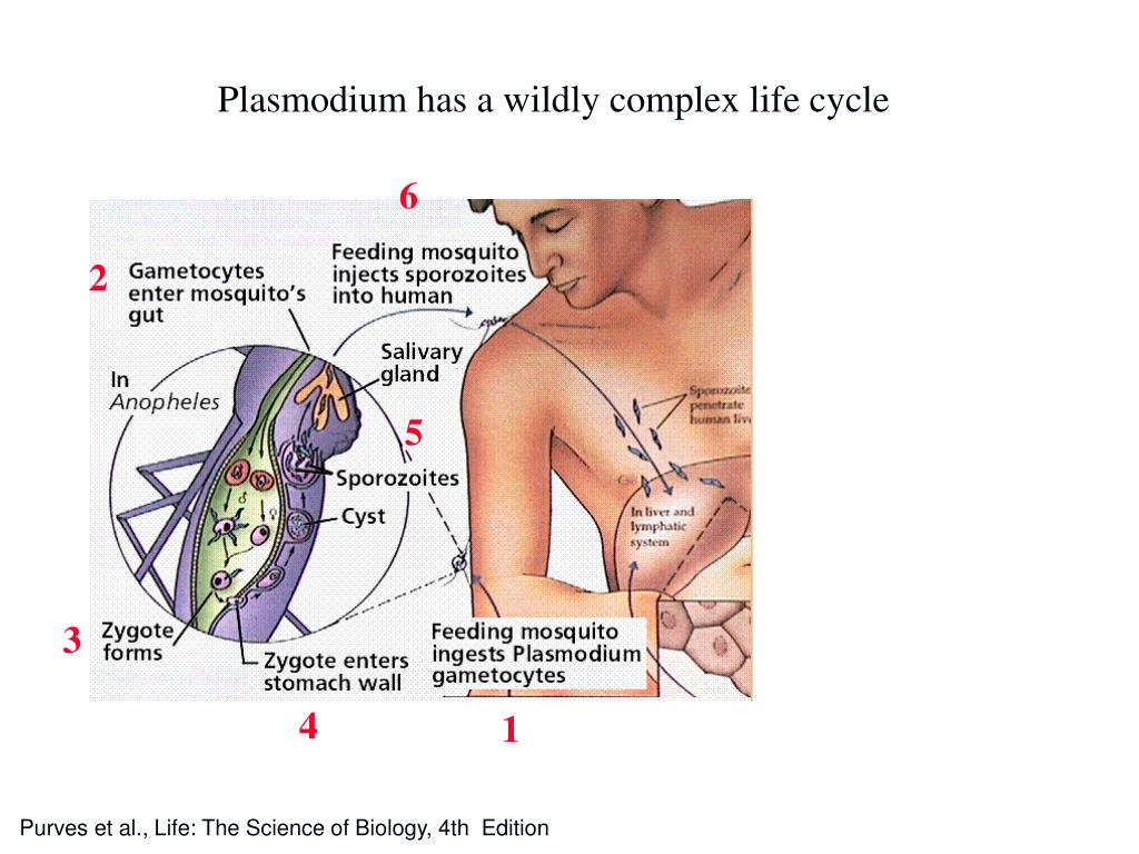 Plasmodium has a wildly complex life cycle