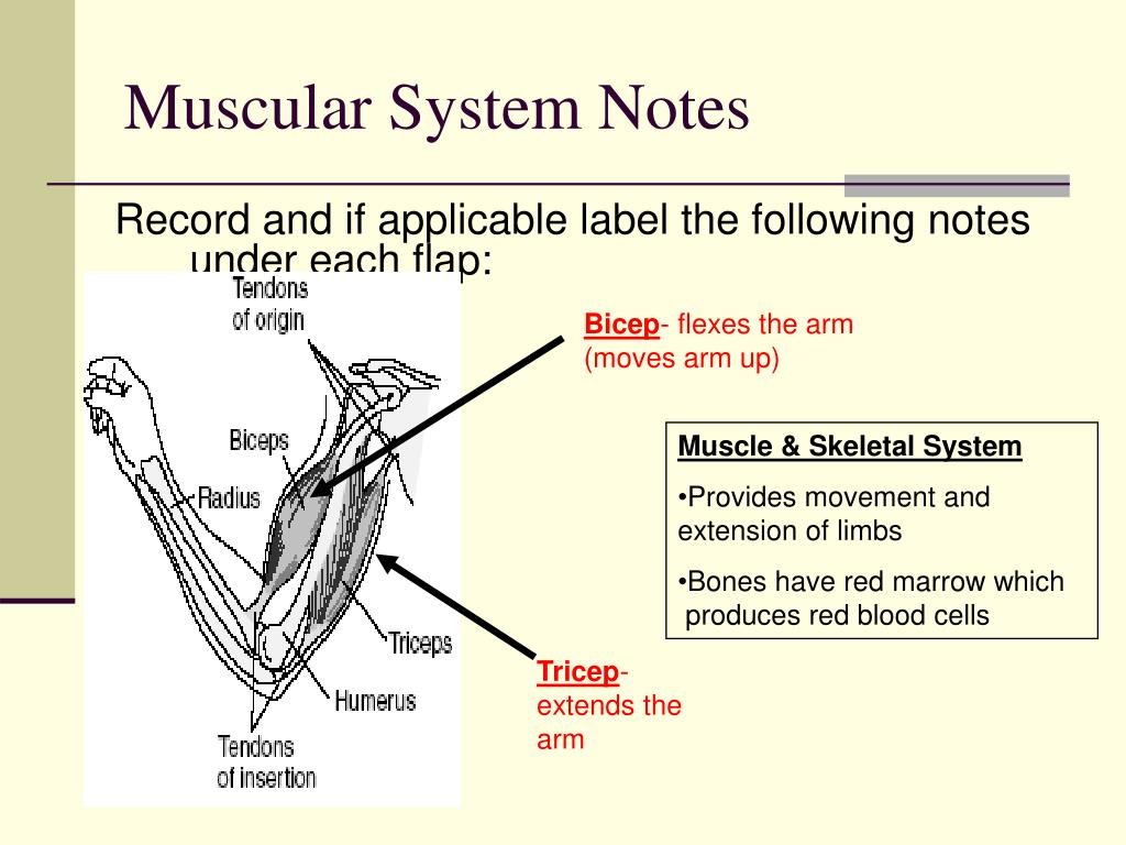 Muscular System Notes