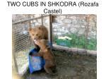 two cubs in shkodra rozafa castel