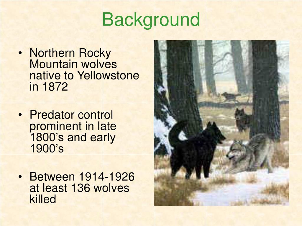 Northern Rocky Mountain wolves native to Yellowstone in 1872
