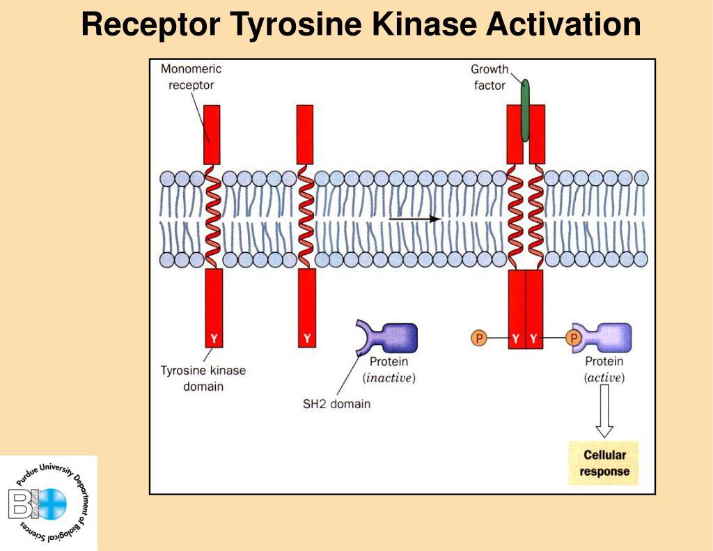 Receptor Tyrosine Kinase Activation