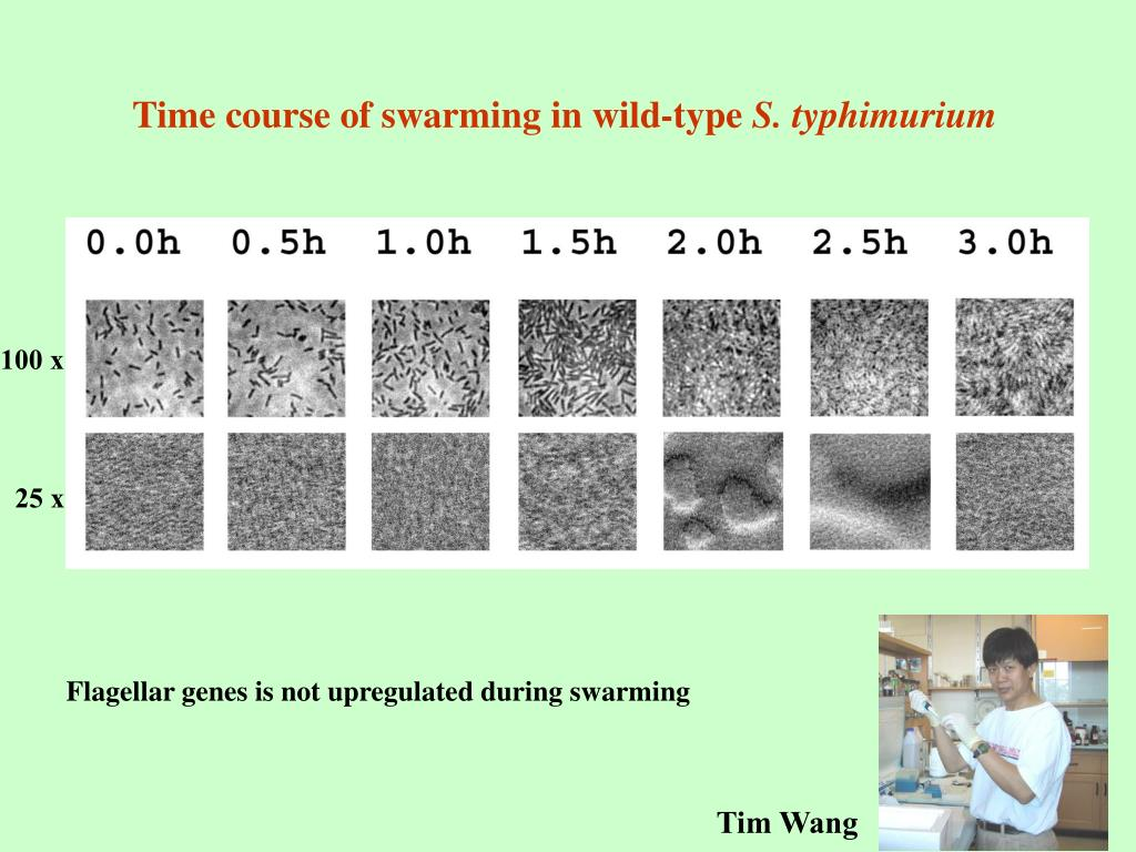 Time course of swarming in wild-type