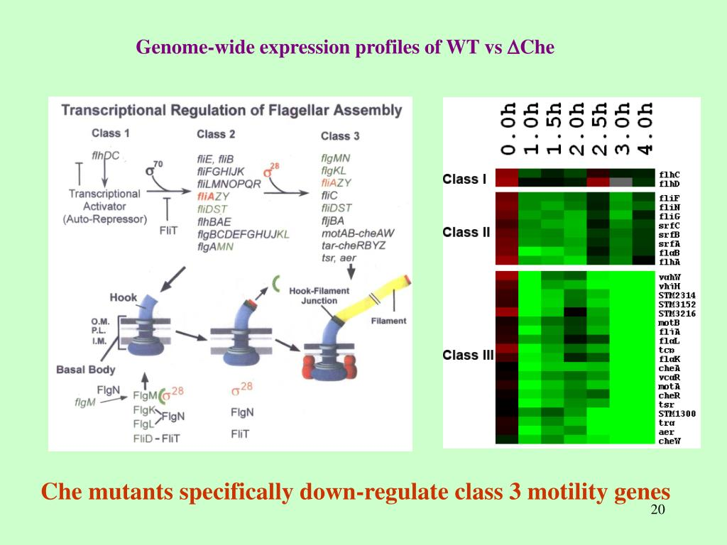 Che mutants specifically down-regulate class 3 motility genes