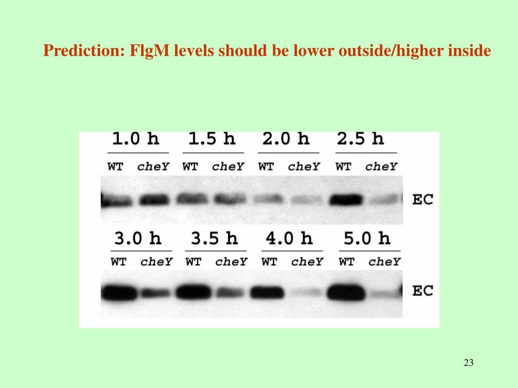 Prediction: FlgM levels should be lower outside/higher inside