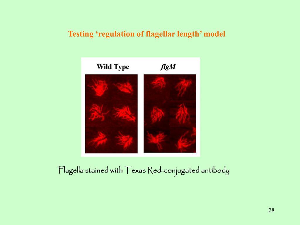 Testing 'regulation of flagellar length' model