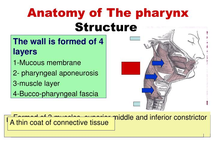 Ppt Anatomy Of The Pharynx Powerpoint Presentation Id689255