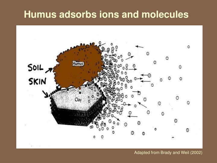 Humus adsorbs ions and molecules