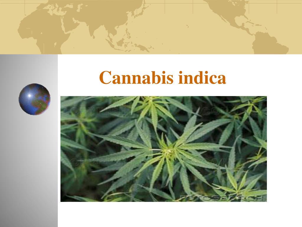 cannabis indica l.