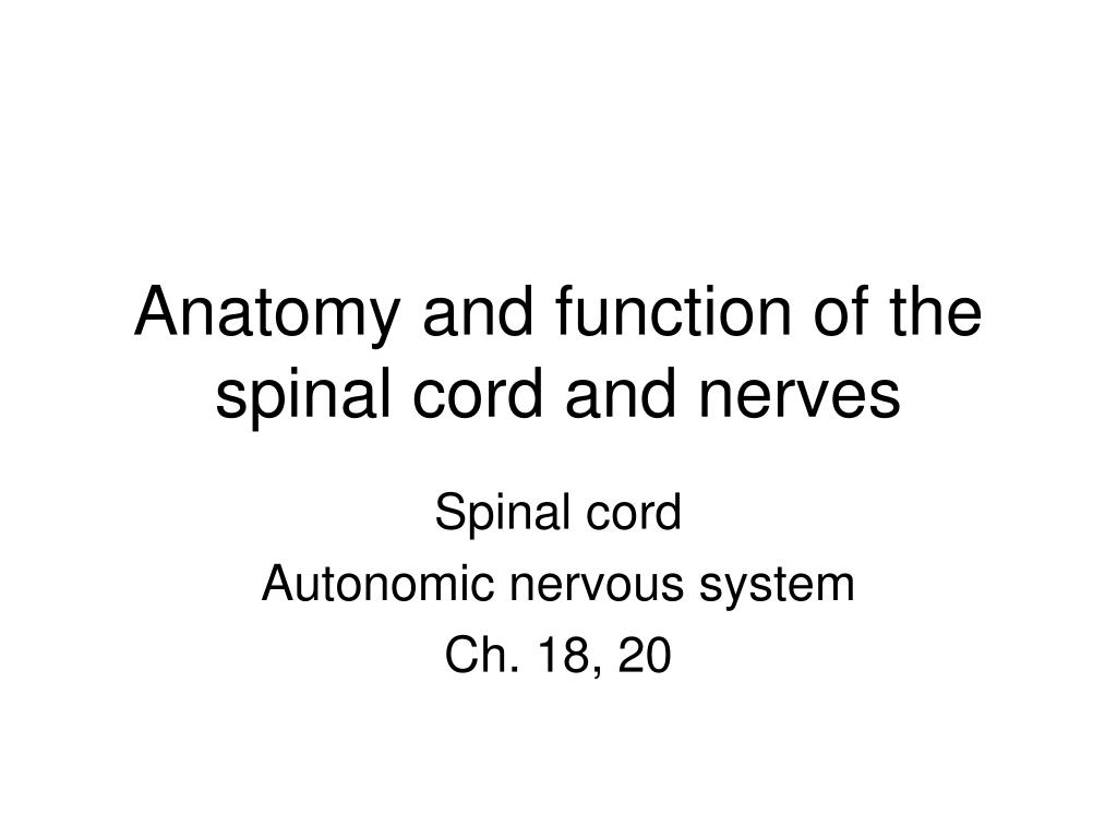 anatomy and function of the spinal cord and nerves l.