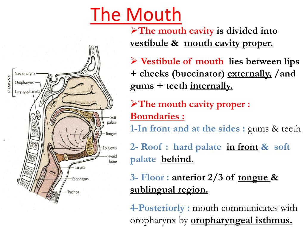 the mouth l.
