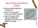 kil kurdu kancali kurt
