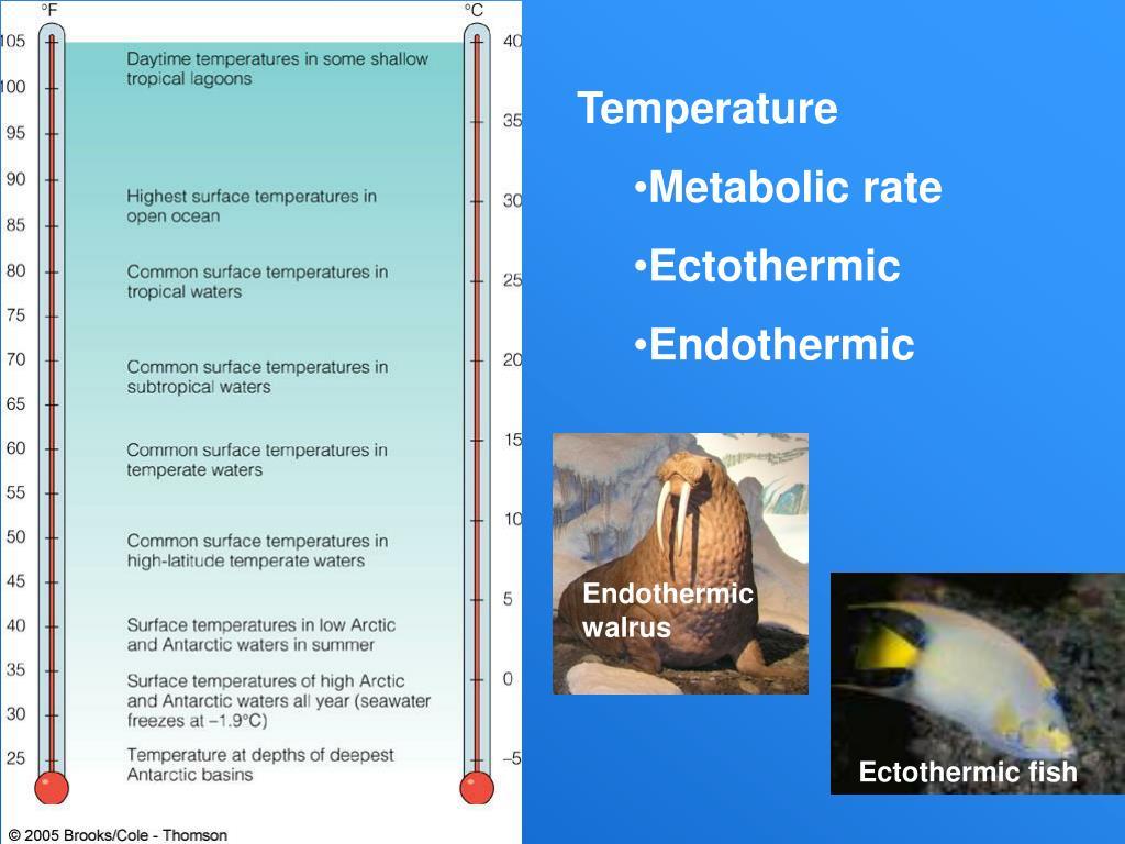 Endothermic walrus