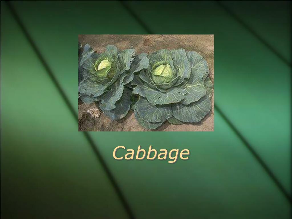 cabbage l.