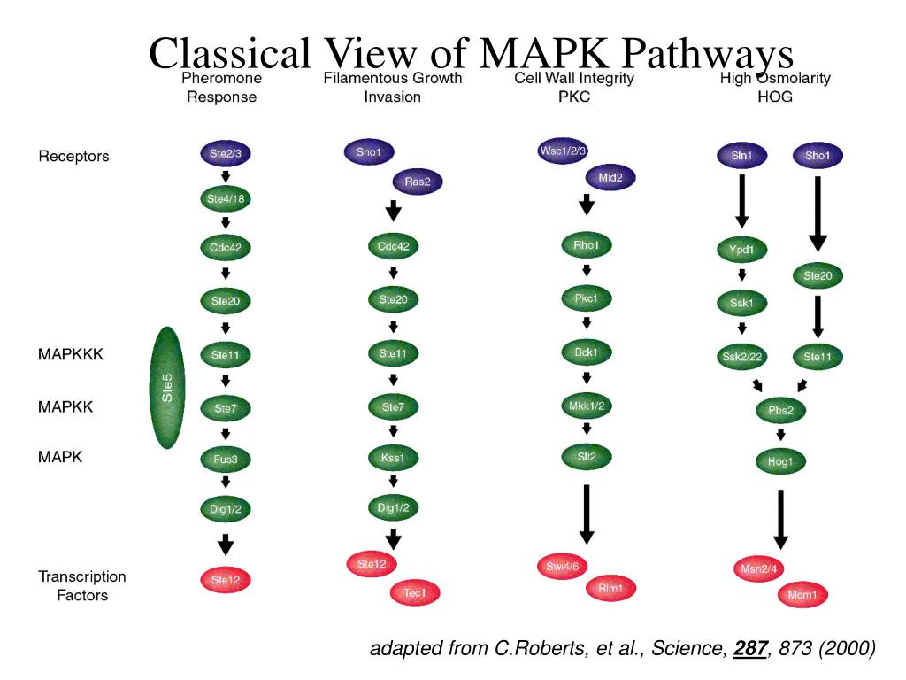 Classical View of MAPK Pathways
