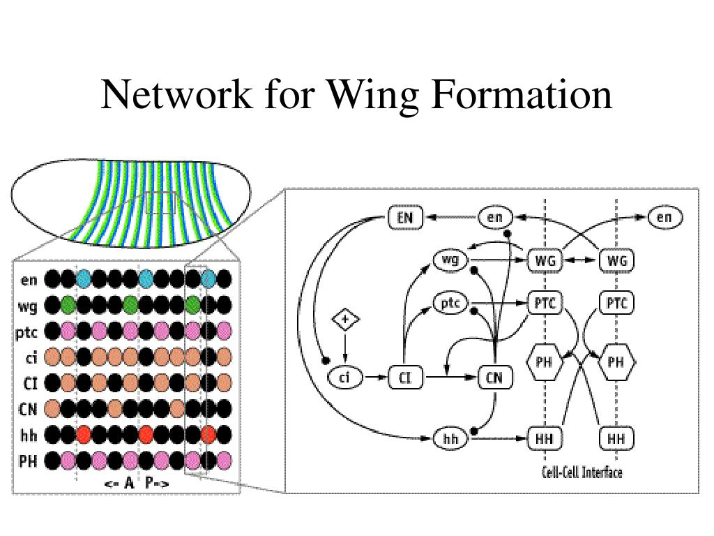 Network for Wing Formation