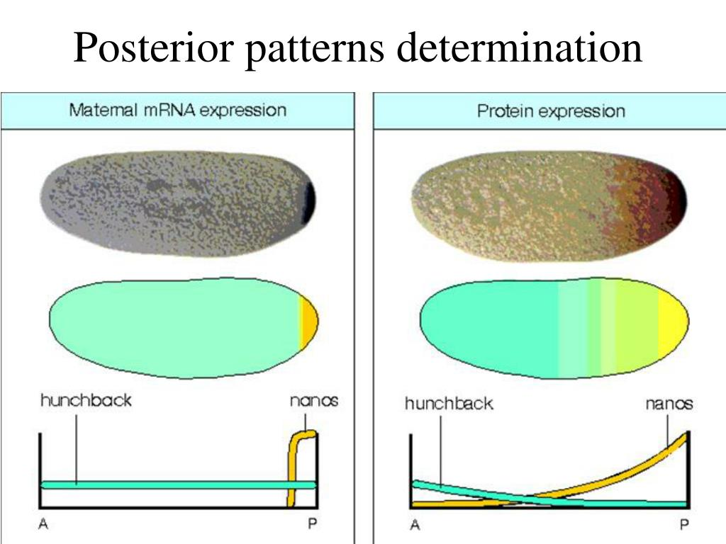 Posterior patterns determination