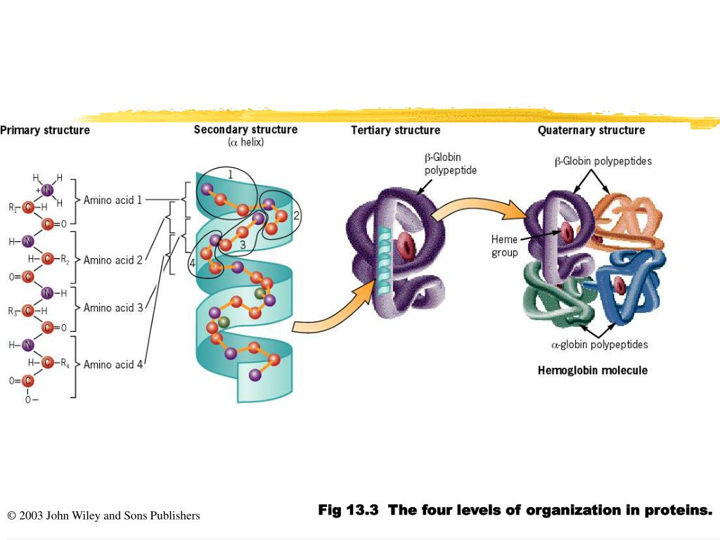 Fig 13.3  The four levels of organization in proteins.