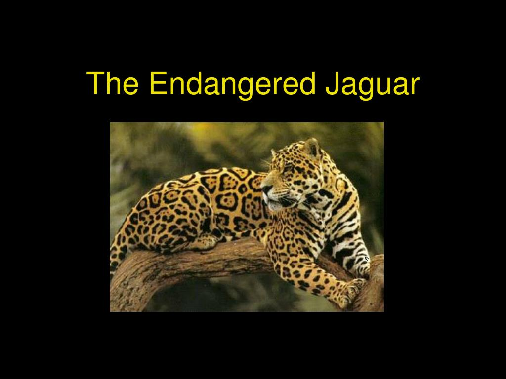 the endangered jaguar l.