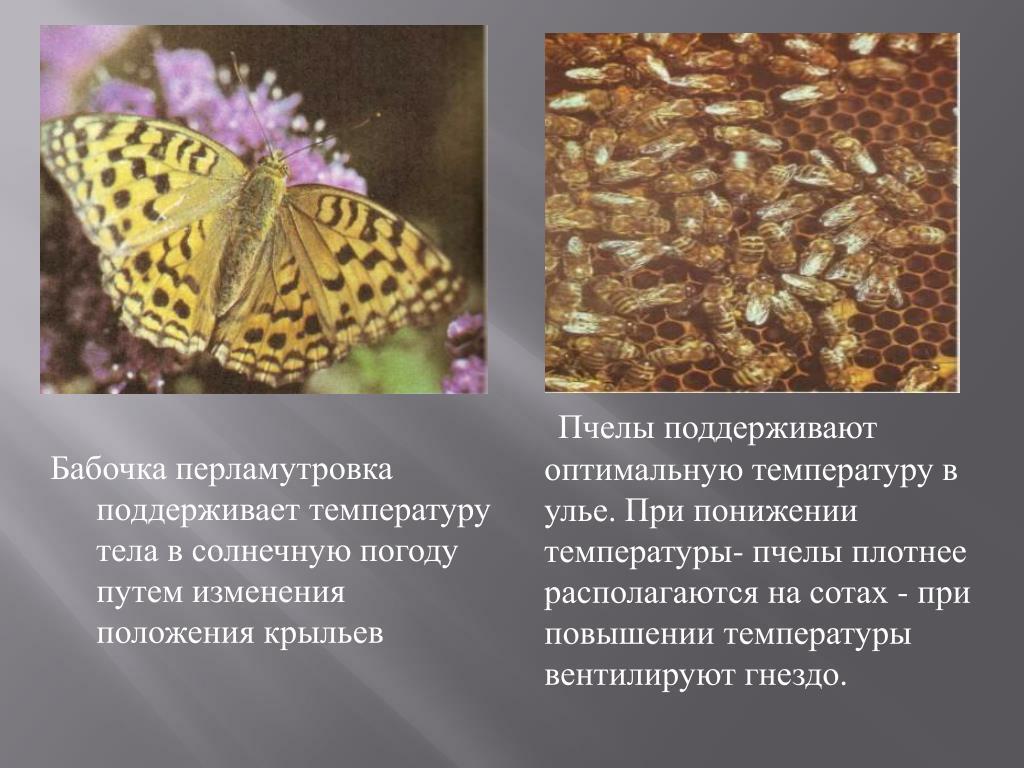 Бабочка перламутровка поддерживает температуру тела в солнечную погоду путем изменения положения крыльев