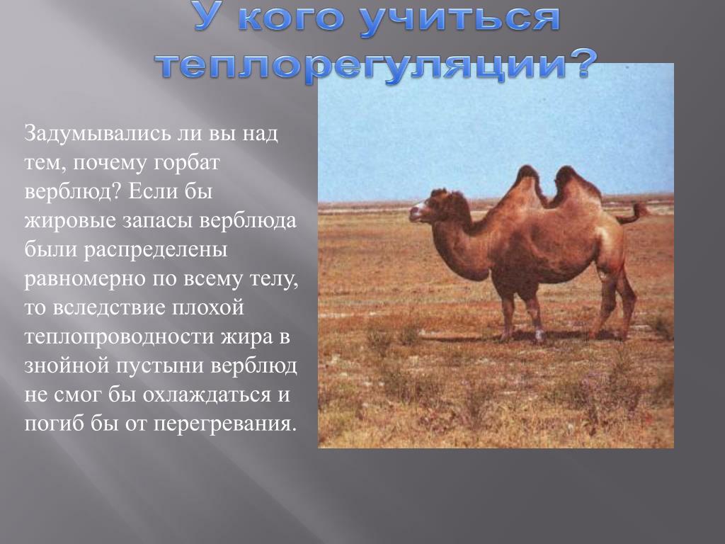 Задумывались ли вы над тем, почему горбат верблюд? Если бы жировые запасы верблюда были распределены равномерно по всему телу, то вследствие плохой теплопроводности жира в знойной пустыни верблюд не смог бы охлаждаться и погиб бы от перегревания.