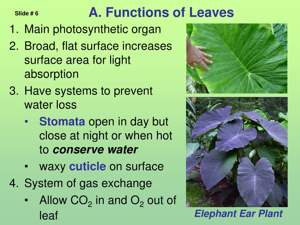 A. Functions of Leaves